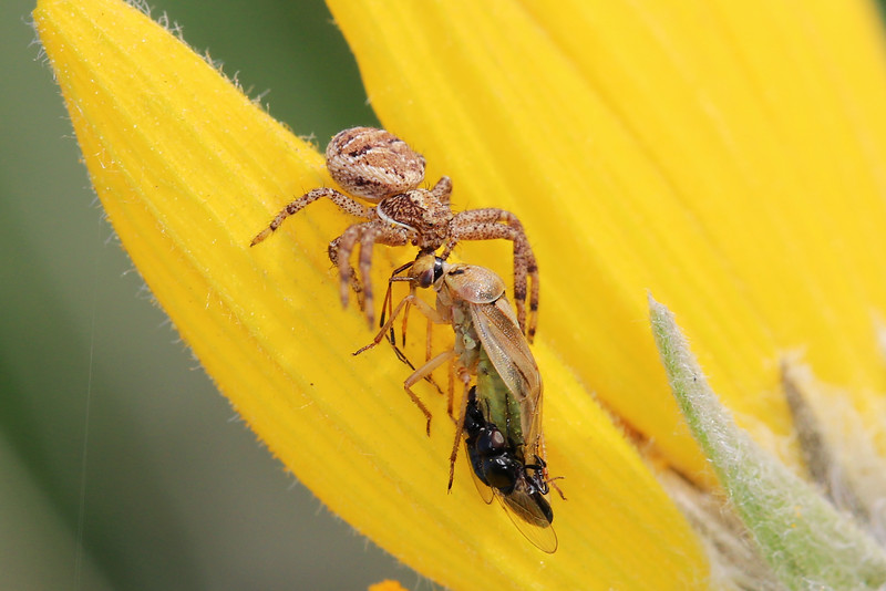 Ground Crab Spider (Xysticus)