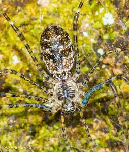 ARANEAE: Hypochilidae: Hypochilus pococki, lampshade spider female