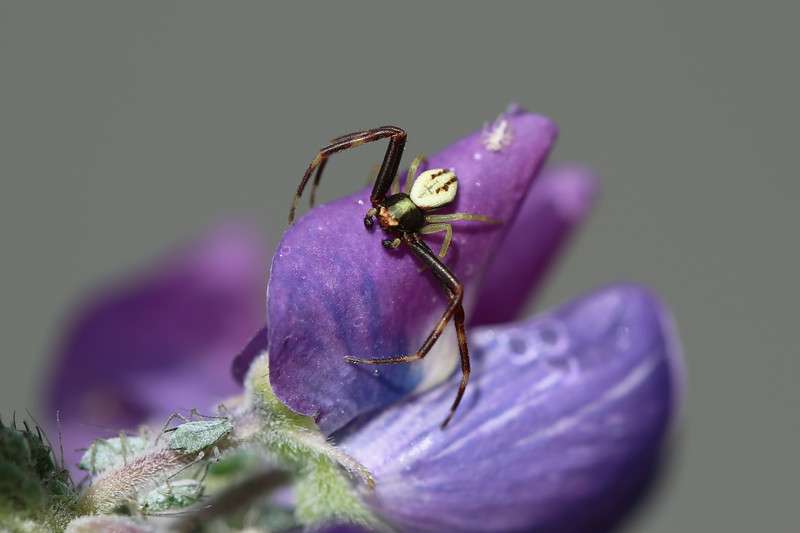 Male Goldenrod Crab Spider (Misumena vatia)