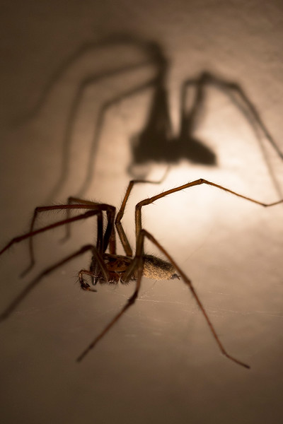 Giant House Spider (Eratigena duellica)