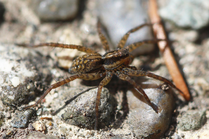 Wolf Spider (Lycosidae)
