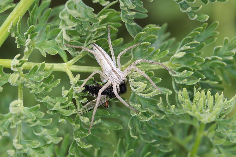 Running Crab Spider (Philodromidae)