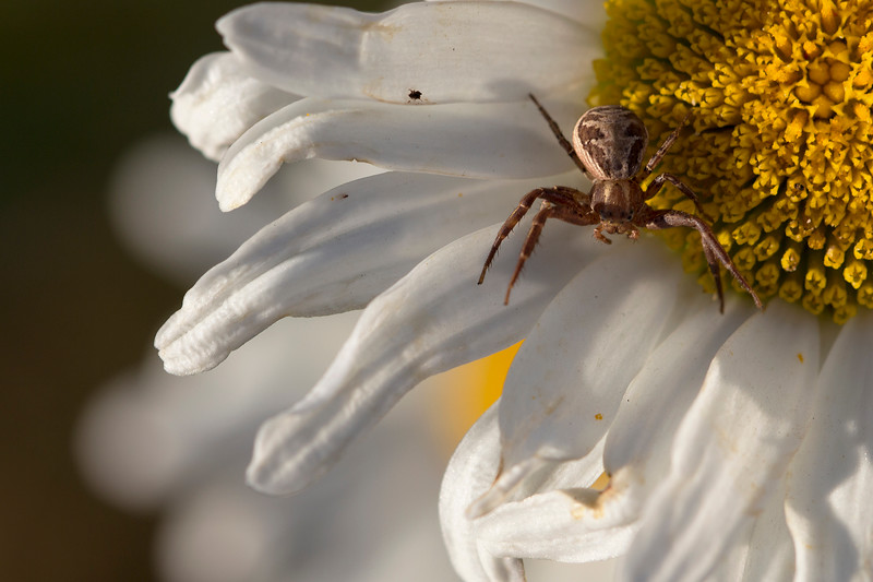 Ground Crab Spiders (Xysticus)