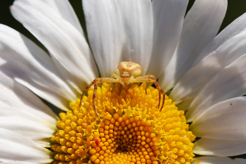 Crab Spider (Thomisidae)