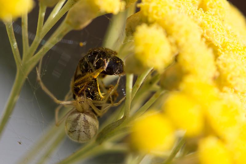 Cobweb Spider (Theridiidae)