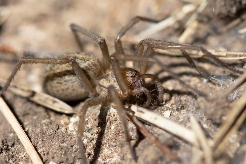 Funnel Weaver Spider (Agelenidae)