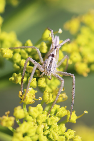 Running Crab Spider (Philodromidae)