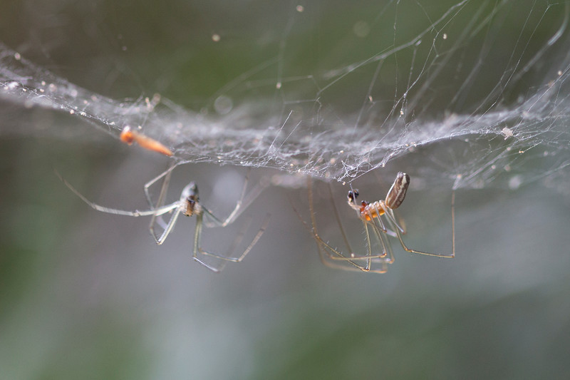 Sheetweb Spiders Mating (Linyphiinae)