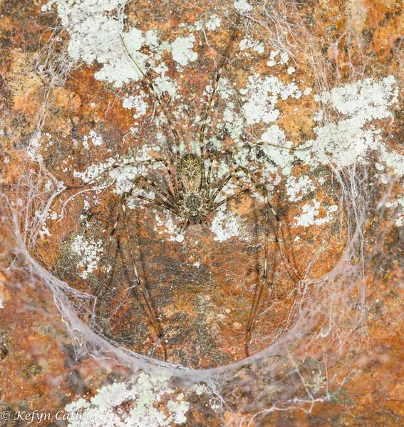 ARANEAE: Hypochilidae: Hypochilus pococki, lampshade spider female in web