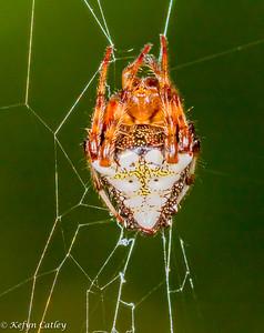 ARANEAE: Araneidae: orbweavers, Verrucosa arenata, arrowhead spider