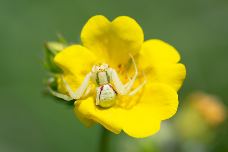Flower Crab Spider (Misumena)