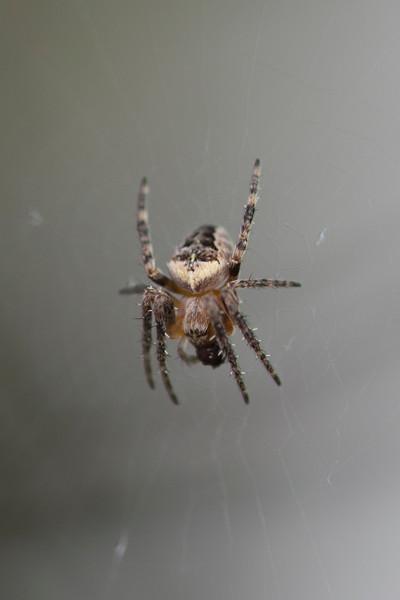 Flower Crab Spider (Misumena)