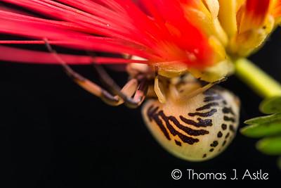 Crab spider detail, California