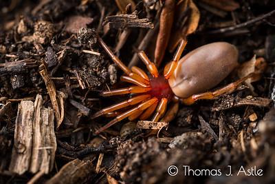 Sowbug killer spider (Dysdera crocata), Callifornia