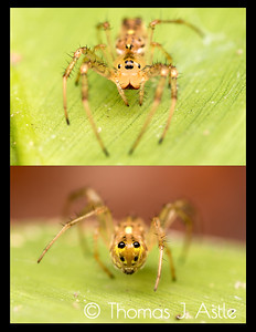 """Unknown spider sp., which we dubbed the """"Butt-Head Spider"""" because it looks more or less the same coming and going (Peruvian Amazon)."""