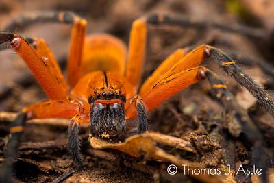 Huntsman spider (Sparassidae), Peruvian Amazon