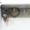 My son found this spider on our garage door. What a beautiful egg sack.