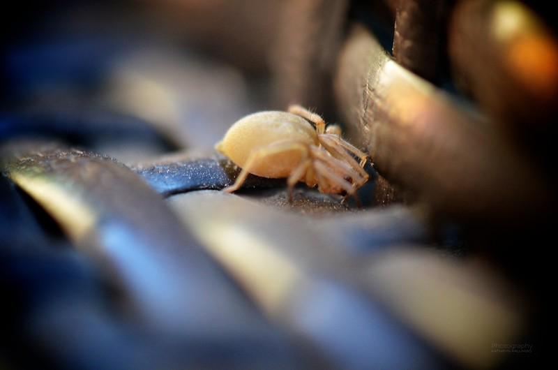 Peek-a-boo Spider
