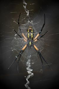 Texas ZigZag Spider