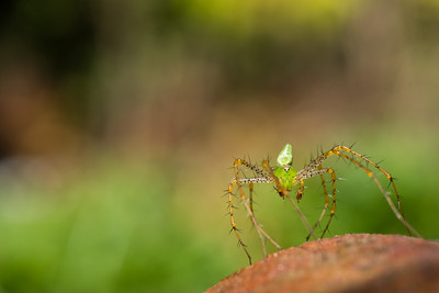 Colors of Nature - Green Lynx Spider