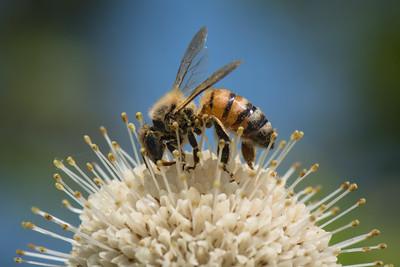Honeybee Blue