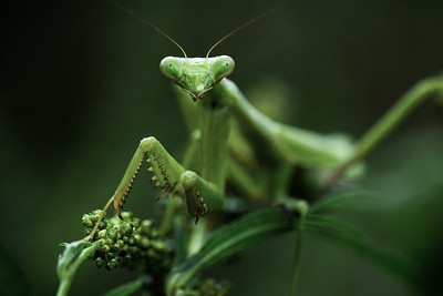 Dennis Stewart - Praying Mantis