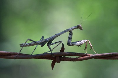 Barbed Wire Mantid