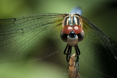 RED_EYED DRAGONFLY
