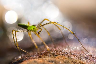 Dennis Stewart - Green Lynx Spider