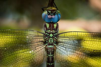 Giant Garner Dragonfly