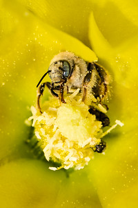Spring Bee on Cactus Flower