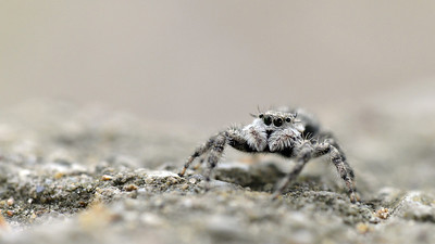 Arachnid Sentry