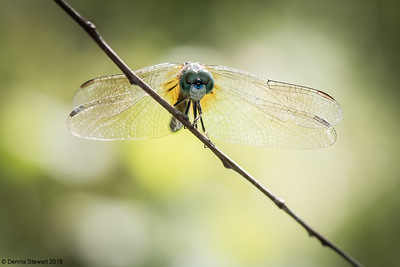Morning Dragonfly 2016