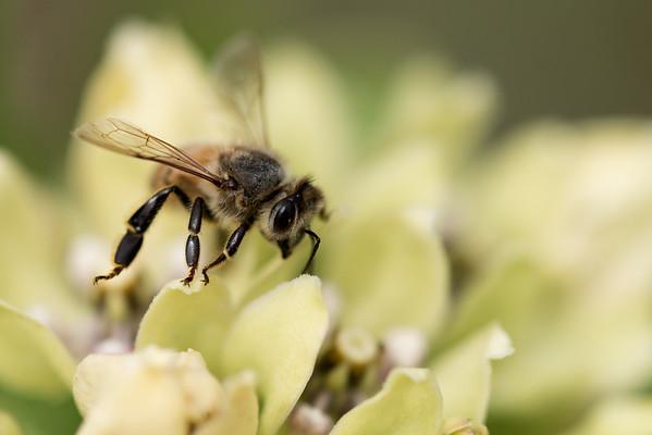 Honeybee Afternoon