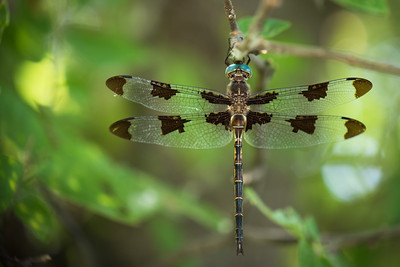 Blue Eyed Dragonfly