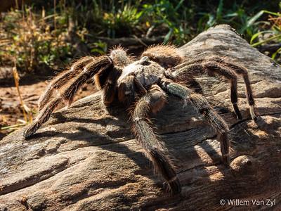 20190406 African Rear-Horned Baboon Tarantula (Ceratogyrus darlingi) near Thabazimbi, Limpopo