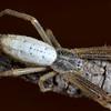 Argiope protensa (juvenile)