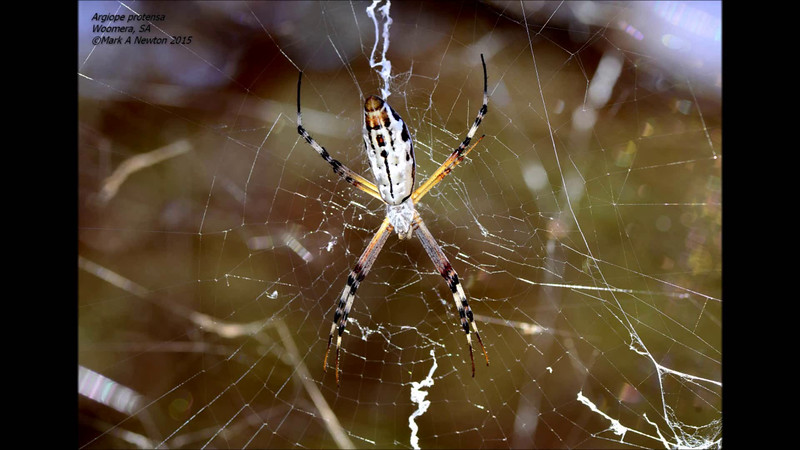 Argiope protensa captures a fly