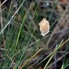 Argiope trifasciata  (egg sac in Triodia)