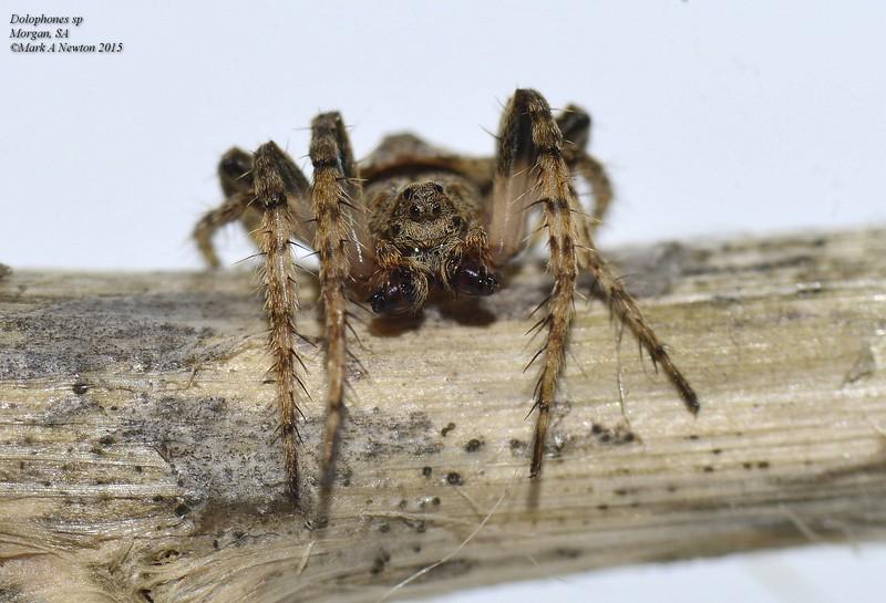 Dolophones sp1  (male)