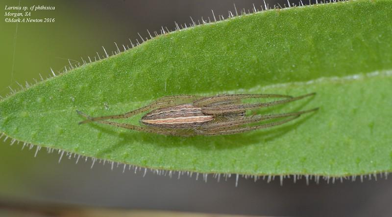 Larinia sp. cf. phthisica