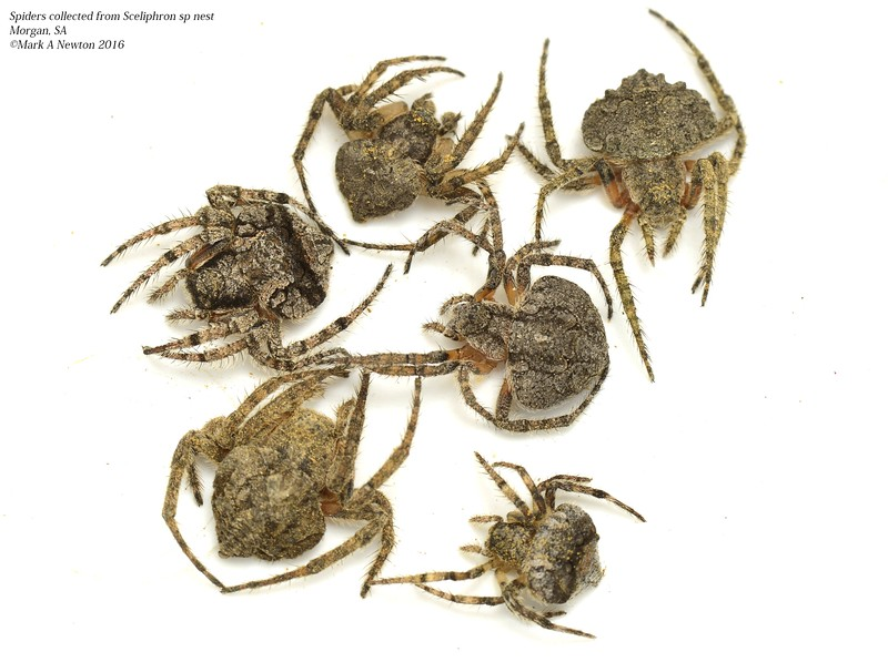 Mud dauber (Sceliphron sp) nest mix of Dolophones spp spider