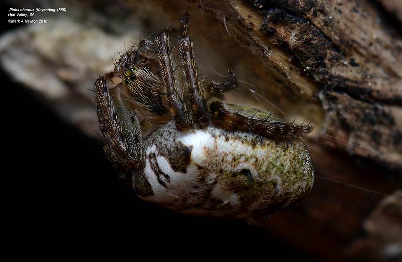 Plebs eburnus