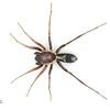 Nucastia sp. cf. supunnoides