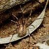 Ticopa sp. cf. australis  (female )