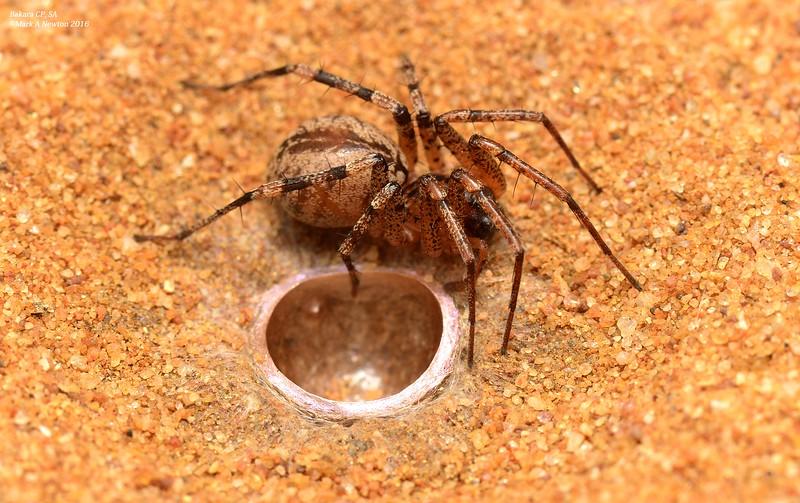 Ticopa sp. cf. australis  (female creating nest in sand)