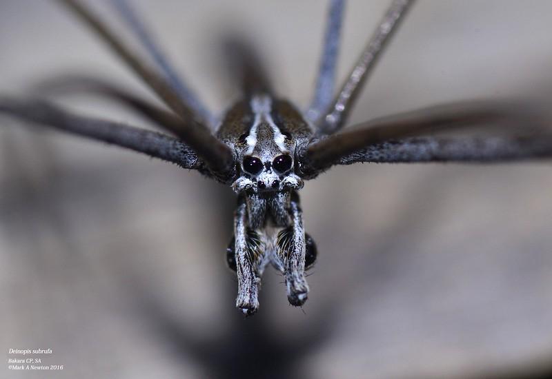 Deinopis subrufa (male)