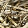 Phryganoporus candidus (male)