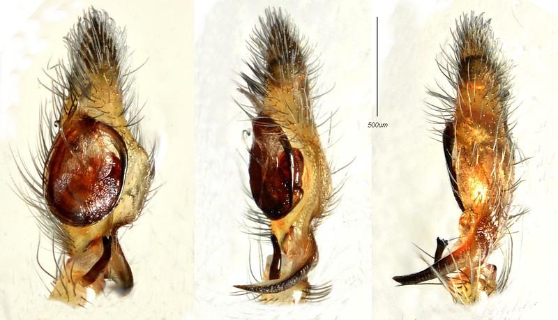 Cheiracanthium sp. cf. stratioticum