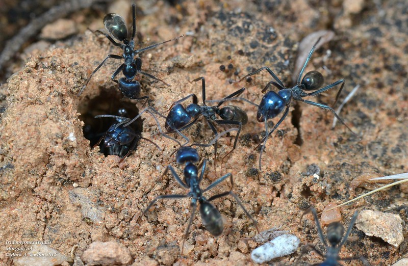 Iridomyrmex lividus (blue meat ant). Possible model for this Eilica sp.